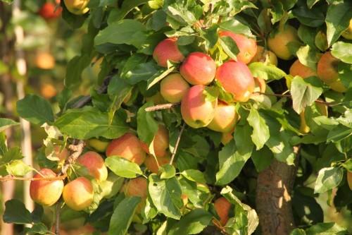 2011/09 - Jetzt ist Apfelzeit !!!