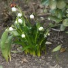 2012/03 – Der Märzenbecher ist unser Frühlingsbote.