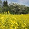 2012/05 – Blütezeit für Raps und Obst bei sommerlichen Temperaturen.