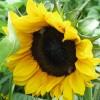 2012/08 - Zeit für Sonne und Sonnenblumen.