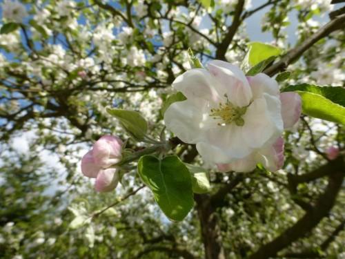 2014/04 – Die Obstblüte zeigt sich von ihrer schönsten Seite.