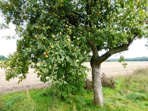2014/08 – Apfelbäume am Weg.
