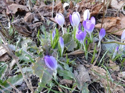 2015/02 - Frühlingsblumen im Winter.