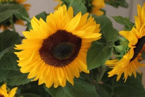 2015/07 - Die Zeit der Sonnenblumen beginnt.