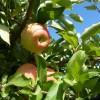 2015/09 - Die Zeit der Äpfel ist da.