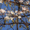 2015/12 - Kirschblüte zum 4. Advent.