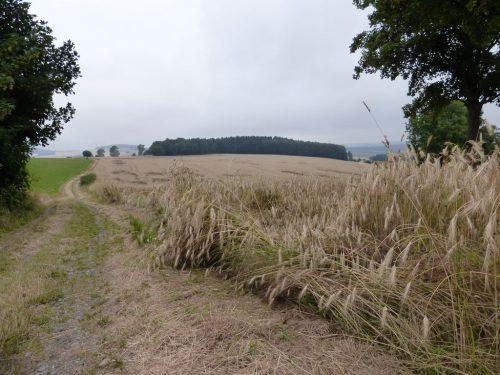 2016/07 - Das Korn ist reif für die Ernte.