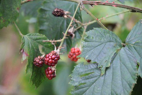 2016/10 – Selbst ein paar Beeren kann man noch finden.