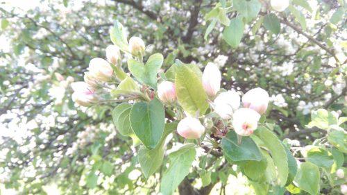 2017/04 - Trotz des schlechten Wetters blühen viele Bäume.