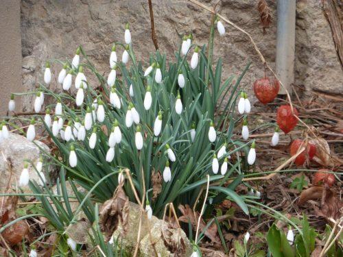 2018/02 - Schneeglöckchen im Februar.