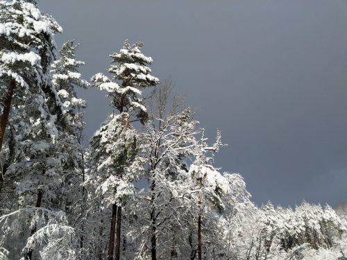 2019/01 - Schnee bedeckte Wipfel.