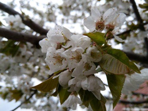 2019/04 - Die Baumblüte ist jedes Jahr ein Erlebnis.
