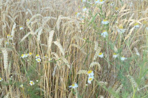 2020/07 - Es ist Sommer und bald Erntezeit.